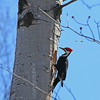 male pileated woodpecker preparing a nest