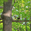Wood Duck, very high up in a tree