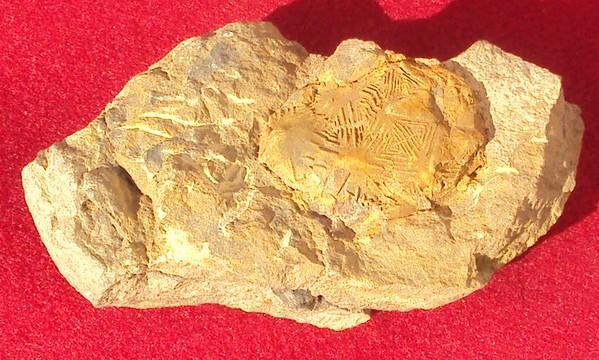 Trilobites/NON-ID Trilobites/3076