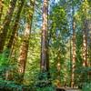 Muir Woods #KW-117