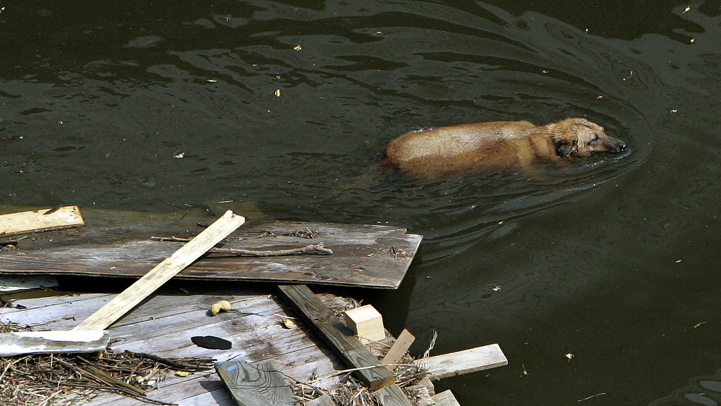 . A stranded dog attempts to swim to safety from a flooded neighborhood, Saturday, Sept. 3, 2005, in New Orleans, LA.(AP Photo/Phil Coale)