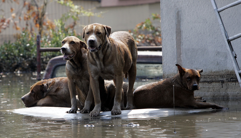 . Dogs wait for their owners to return as they sit on top a flooded car in New Orleans, La., Monday,  Sept. 5, 2005. Thousands of animals have been left stranded in the wake of Hurricane Katrina. (AP Photo/Dave Martin)