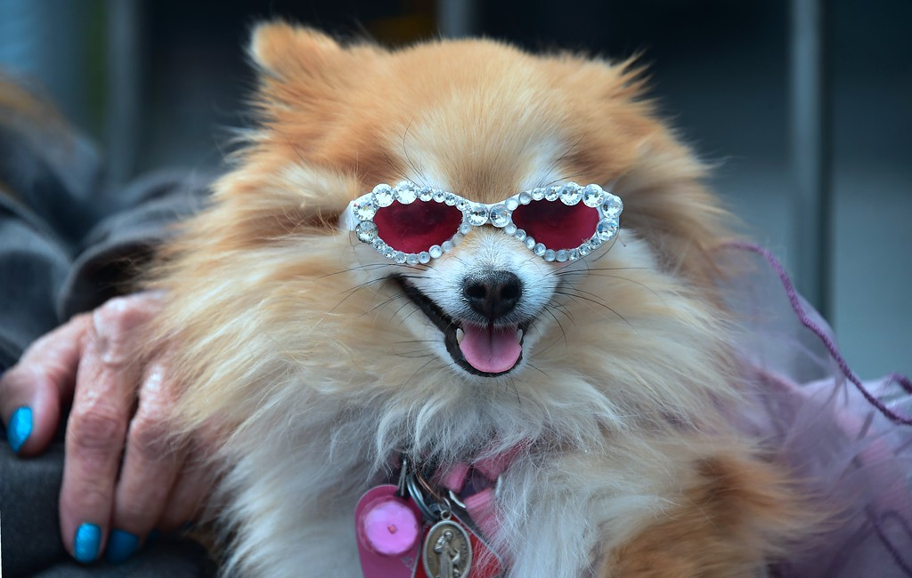 . Pomeranian Goldie Ann wearing sunglasses sits on her owners lap while attending the Walk of Fame Star ceremony for actor Gary Sinese in Hollywood, California on April 17, 2017. Sinise was the recipient of the 2,606th star on the Walk of Fame.  (FREDERIC J. BROWN/AFP/Getty Images)