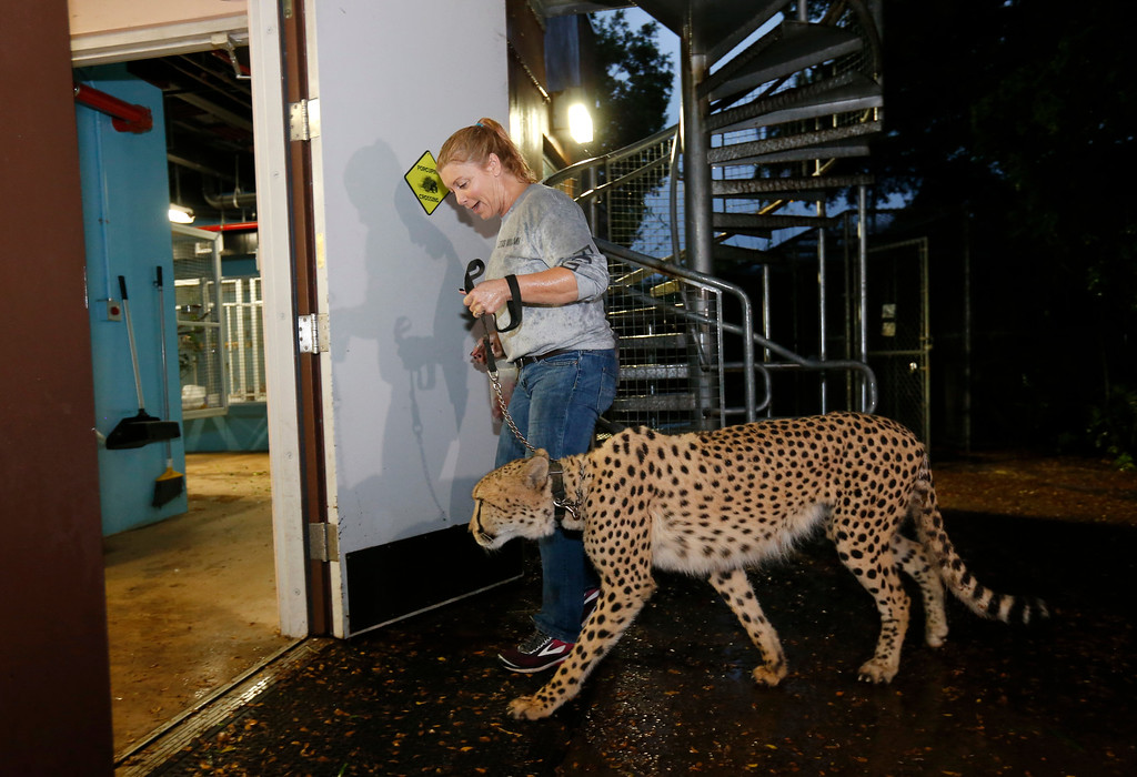 . Jennifer Nelson, senior keeper at Zoo Miami, leads a cheetah named Koda to a hurricane resistant structure within the zoo, Saturday, Sept. 9, 2017 in Miami. Though most animals will reman in their secure structures, Koda and his brother Diesel and some birds will ride out the storm in temporary housing. (AP Photo/Wilfredo Lee)