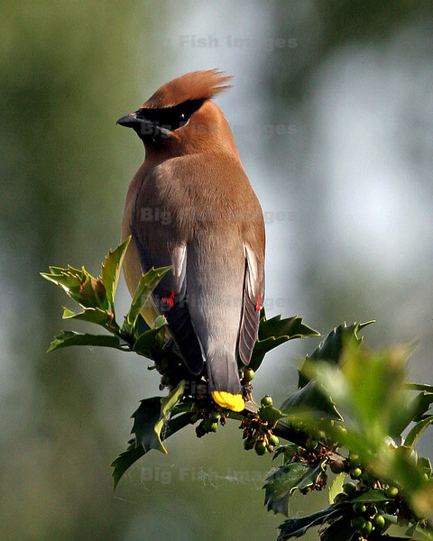 Cedar Waxwing.  It takes them about 2 days to eat all of the berries off of our Holly tree.