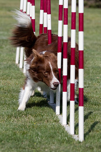 Flint loves doing the weave poles!  This was taken with my camera and Denise A behind the lens - thanks Denise!  Awesome job you did :-)