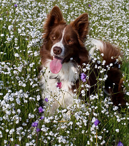 Flint the most handsome border collie posing in the most incredible wildflower year I have ever seen in this valley!