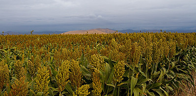 October 24.  Sorghum field.  This kind is grown to feed the dairy cows - they chop it up and add to silage.  Here is a link to more inof:  http://en.wikipedia.org/wiki/Sorghum  I took this picture on the way to town today - a day off and I went shopping :-)  Trying to get back into the groove of creativity again!