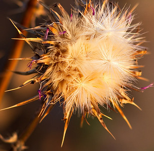 June 11.  Thistle.  I took a short drive  this evening and ended up just around the corner on Piedra Dr.  The sun was setting, and  casting a golden glow on everything.  These thistles were catching the light so beautifully and I was fascinated by them.  There are more here:  http://stardogs.smugmug.com/Still-Life/Weeds/12521693_mHSVR#898047408_Jyz3W