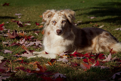 November 8.  Rita in some morning light.  I love the light this time of year.  After the rain last night, this morning was just beautiful.  The red maple is shedding now and I asked Sam not to rake those leaves - gotta save them for some photo opportunities this week!
