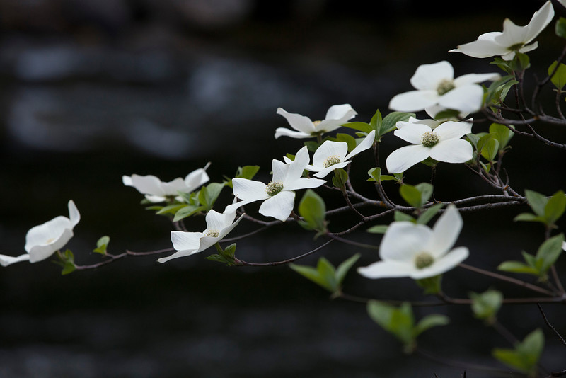 Dogwood Flowering