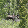 A FEMALE MOOSE IN GRAND TETON. SHE WAS HIDING A BABY AND TELLING ME I WAS CLOSE ENOUGH.