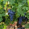 SOME PLUMP GRAPES AT A VINEYARD NEAR UKIAH CALIFORNIA