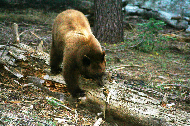 A HONEY COLORED BLACK BEAR HUNTING INSECTS IN YOSEMITE.