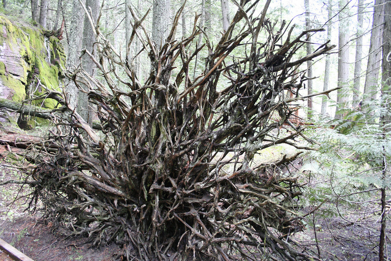 A GIANT CEDAR TREE UPROOTED IN GLACIER PARK