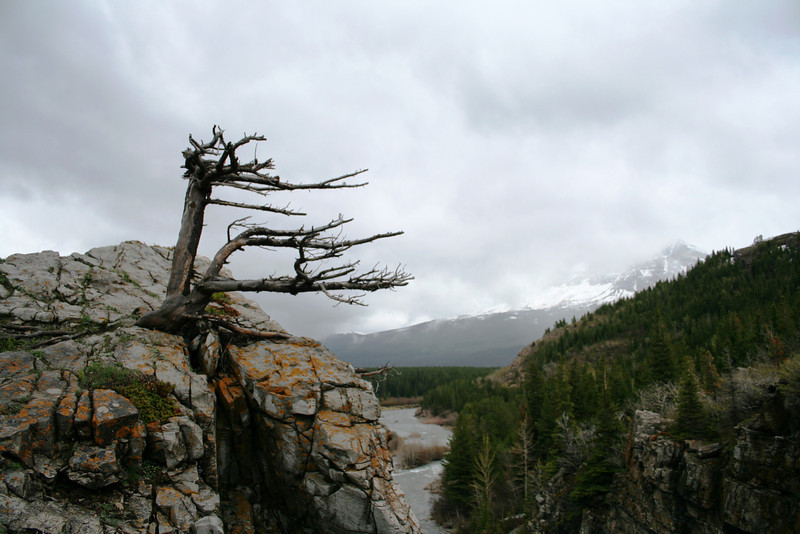 A TREE CLINGS TO DEATH IN GLACIER PARK