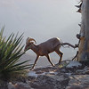 A BIGHORN SHEEP ON THE RIM OF THE GRAND CANYON.