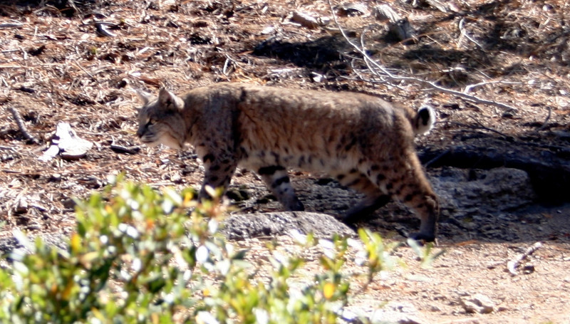 A BOBCAT THAT HIKED WITH US FOR A HUNDRED YARDS ON THE PANORAMA TRAIL IN YOSEMITE.
