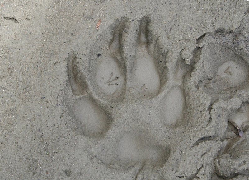 A WOODRAT PRINT INSIDE A GREY WOLF PRINT IN GRAND TETON NATIONAL PARK.