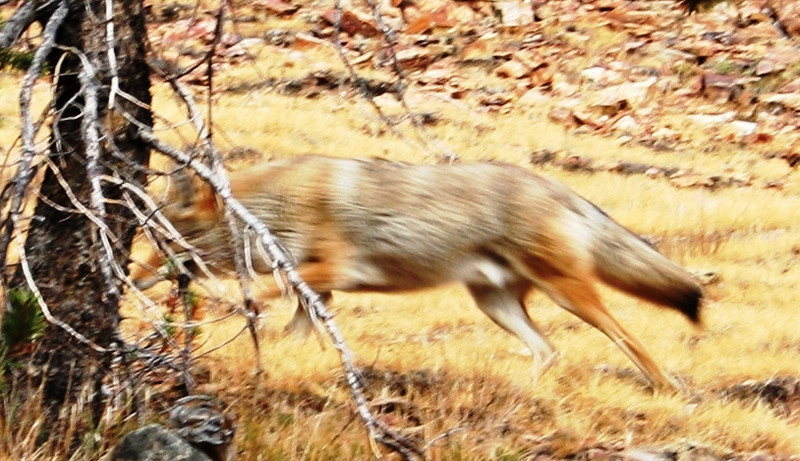 A COYOTE IN INYO NATIONAL FOREST, CALIFORNIA.
