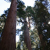 THE LARGEST TREES ON EARTH. SEQUOIA NATIONAL PARK.