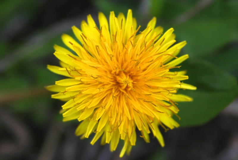 GLACIER PARK FLOWER
