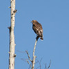 A RED SHOULDER HAWK ON THE OKLAWAHA RIVER IN FLORIDA