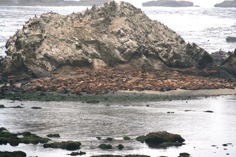 THOUSANDS OF SEALS ON SHELL ISLAND NEAR CAPE AREGO OREGON
