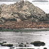 THOUSANDS OF SEALS ON SHELL ISLAND NEAR CAPE AREGO OREGON