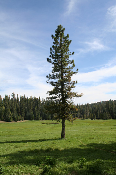 A LONESOME PINE IN A YOSEMITE MEADOW.