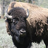 A YELLOWSTONE BISON.
