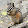 A CHIPMUNK MUNCHES IN GRAND TETON NATIONAL PARK.