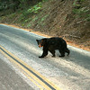 A SEQUOIA NATIONAL PARK BLACK BEAR.