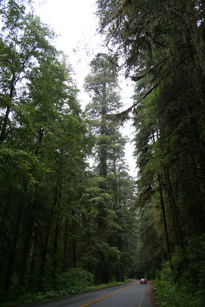 A REDWOOD TOWERS ABOVE THE ROAD