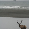 A LARGE ELK ON THE PACIFIC OCEAN