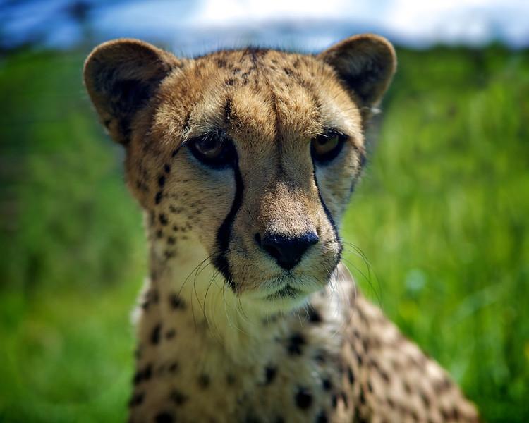 16x20 Indy Cheetah
