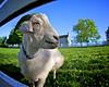 16x20 Blue Grass Goat