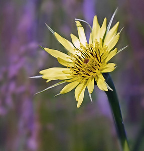 YELLOW SPIKED WILDFLOWER