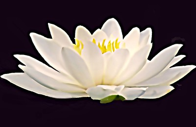 GLORIOUS WHITE WATER LILY
