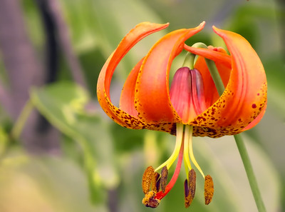 PERHAPS A WILD TIGER LILY