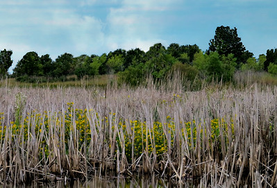 BRIGHT YELLOW FLOWERS AMONG WETLANDS