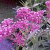 pinkflow