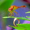 DRAGONFLIES DELIGHT