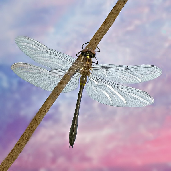 COTTONCANDY DRAGONFLY