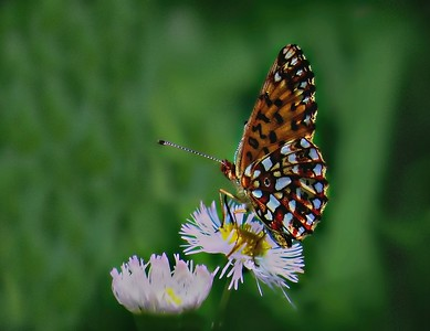 SPANGLED BUTTERFLY ON WILDFLOWER