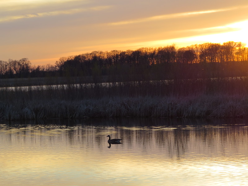 Lone Duck at Sunset