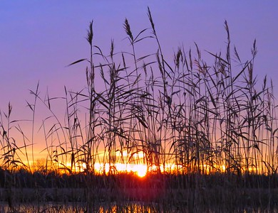 GRASSES AT SUNRISE