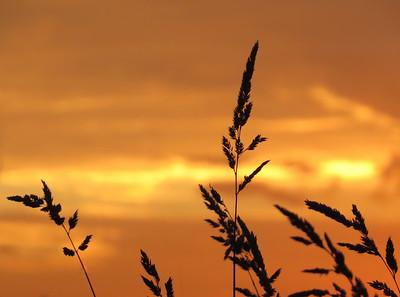 grassingolden