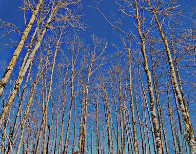 TREES AGAINST A BRIGHT BLUE SKY