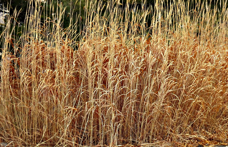 BEAUTIFUL GRASSES